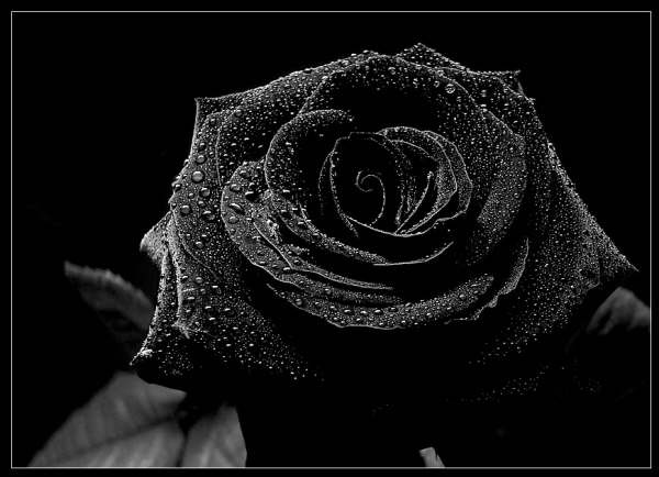 Beautiful-black-rose-wallpaper